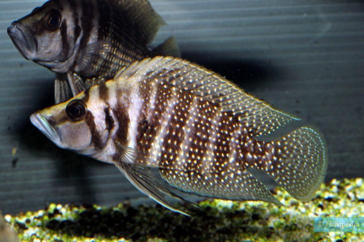 """Altolamprologus calvus """"black Moliro"""""""