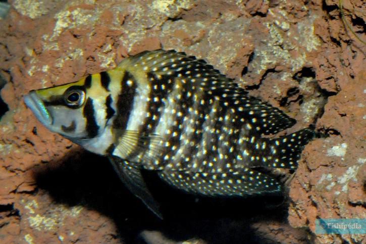 Altolamprologus calvus - Calvus