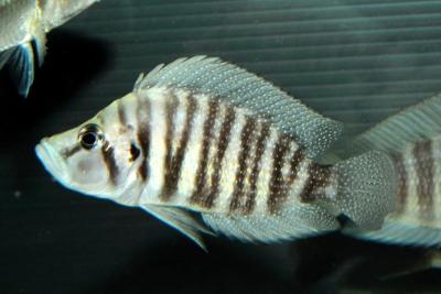 Altolamprologus compressiceps Cichlidae