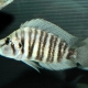 picture of Altolamprologus compressiceps