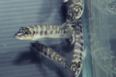 Altolamprologus fasciatus Cichlidae