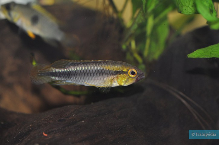 Apistogramma sp. 'Abacaxis'