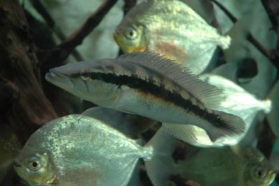Crenicichla lacustris Cichlidae
