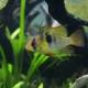 picture of Mikrogeophagus ramirezi