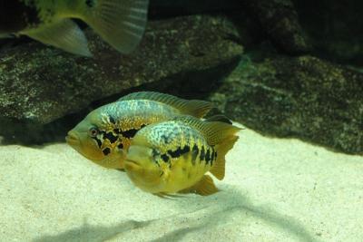 Parachromis loisellei Cichlidae