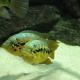 picture of Parachromis loisellei