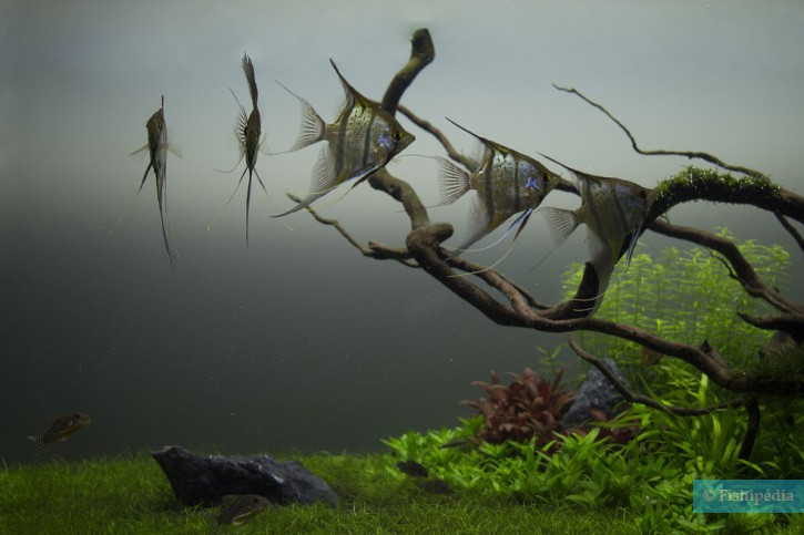 Pterophyllum scalare - scalaire