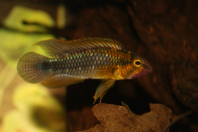 Apistogramma sp. 'Abacaxis' Cichlidae