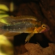 picture of Apistogramma sp. 'Abacaxis'