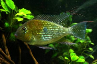 Acarichthys heckelii Cichlidae