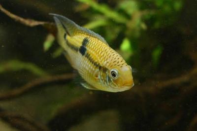 Aequidens patricki Cichlidae