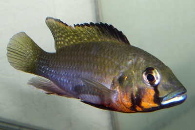 Thoracochromis brauschi Cichlidae