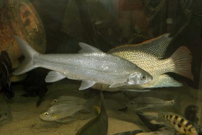 Acapoeta tanganicae Cyprinidae