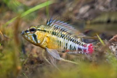 Apistogramma hongsloi Cichlidae