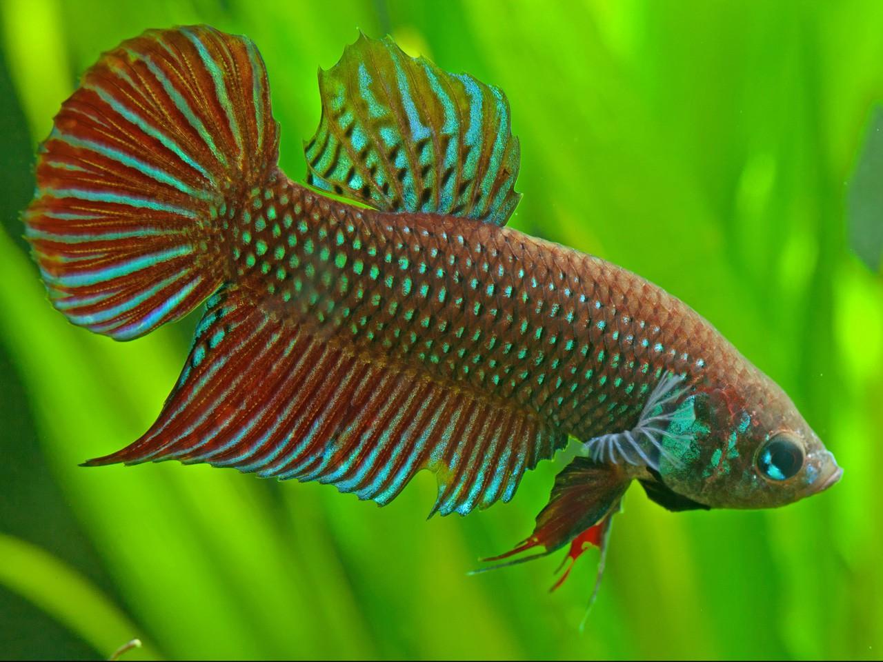 Betta mahachaiensis combattant fiche poisson for Poisson betta bocal