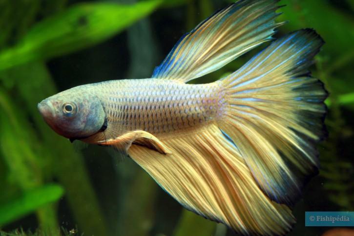 Aquarium poisson combattant for Poisson combattant prix