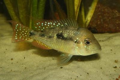 Gymnogeophagus caaguazuensis Cichlidae