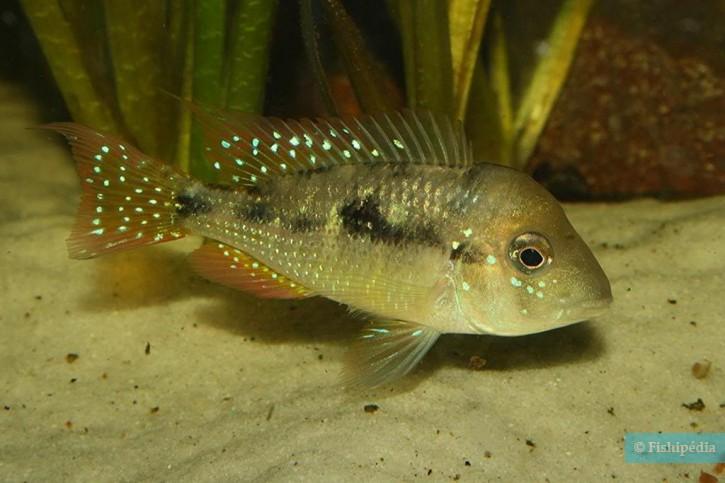Gymnogeophagus caaguazuensis