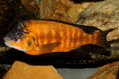 Petrochromis lisachisme Cichlidae