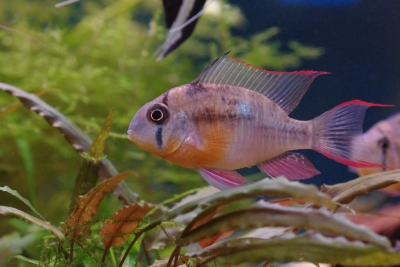ramirezi bolivien Cichlidae