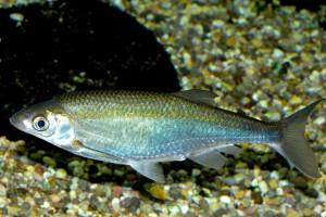 Alburnus alburnus