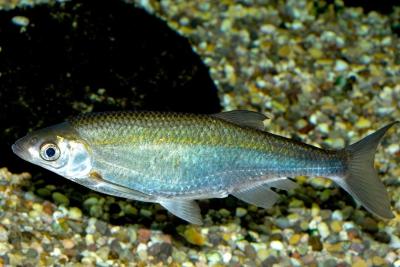 Ablette Cyprinidae