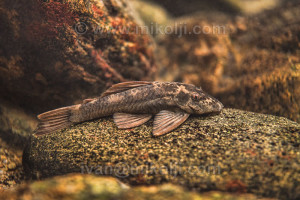 Ancistrus gymnorhynchus