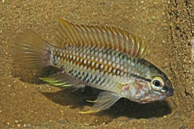 Apistogramma helkeri Cichlidae