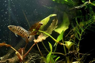 Badis blosyrus Badidae