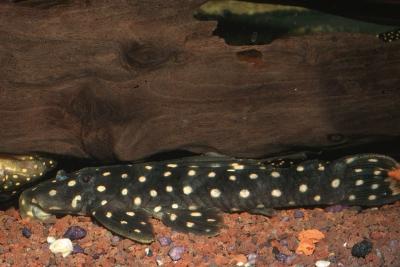 Scobinancistrus sp. L082 Loricariidae