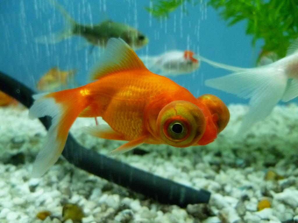 Poisson rouge de la chine l 39 occident fishipedia l for Poisson rouge gros yeux