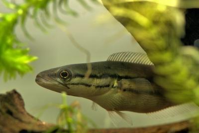 Channa diplogramma Channidae