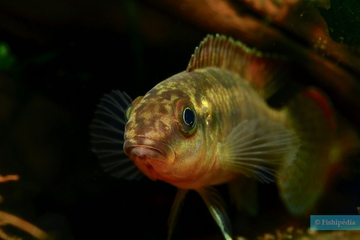 Congochromis sabinae