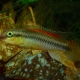 picture of Congochromis dimidiatus
