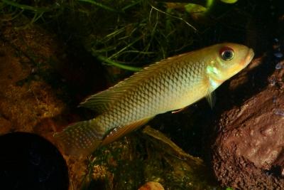Nanochromis sp. aff. nudiceps Cichlidae