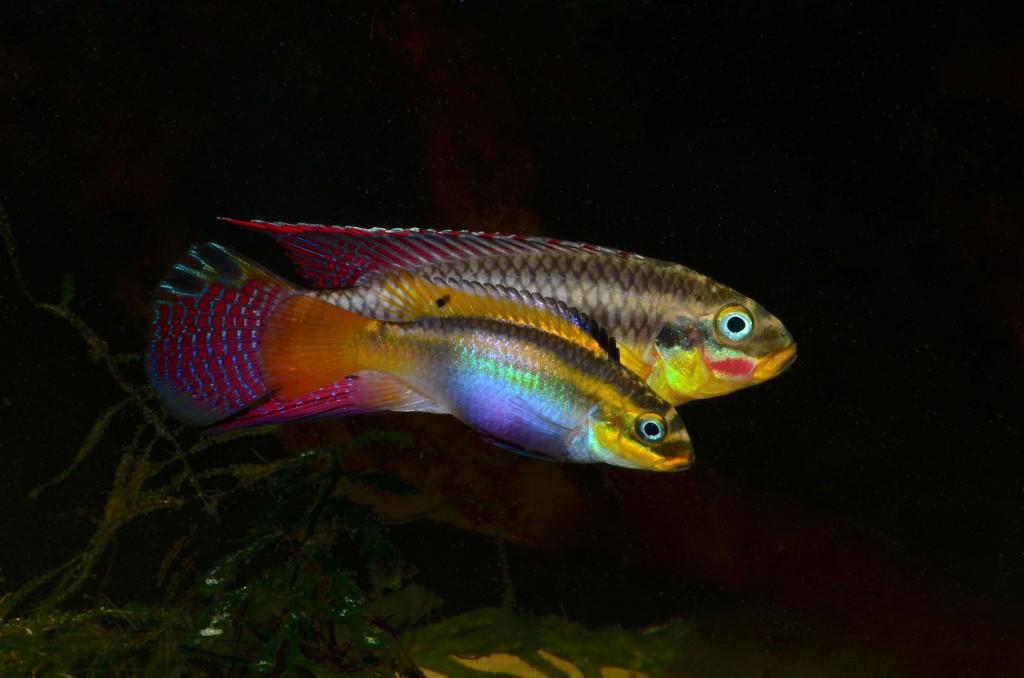Pelvicachromis_taeniatus_Edea_2