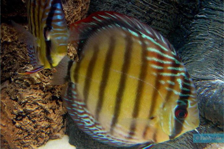 Symphysodon aequifasciatus - discus