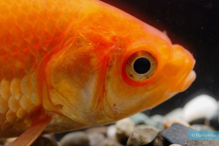 Poisson rouge carassius auratus fiche poisson for Poisson rouge gros yeux