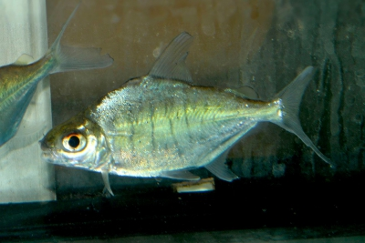 pacu brebis Characidae