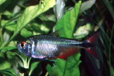 Astyanax fasciatus Characidae