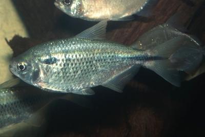 Astyanax venezuelae Characidae