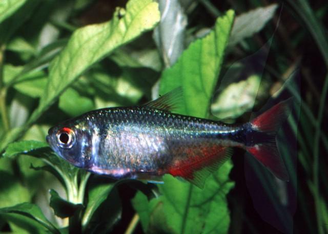 Astyanax-fasciatus-fasciatus-1024x734