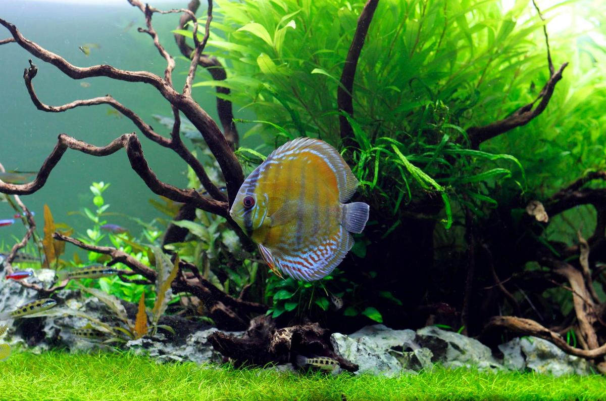 Introduction au monde de l 39 aquarium fishipedia for Poisson rouge artificiel