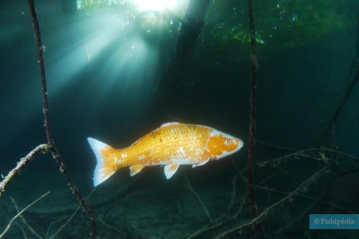 Poisson rouge carassius auratus fiche poisson for Elevage poisson rouge