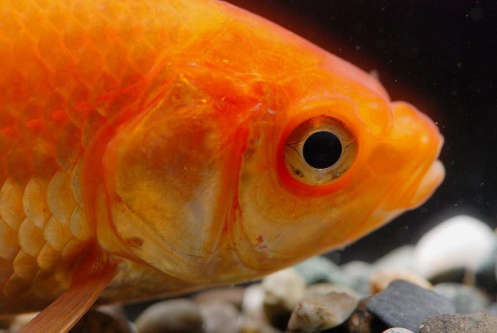 Science archives fishipedia l 39 encyclop die des poissons for Poisson rouge artificiel