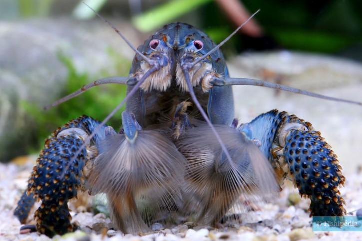Atya gabonensis - crevette balais