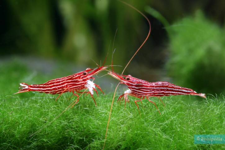 Caridina striata - crevette striée