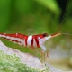picture of Caridina woltereckae