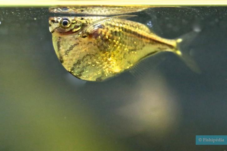 Carnegiella strigata - poisson hachette