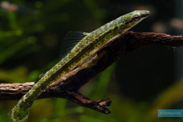 Ammocryptocharax elegans